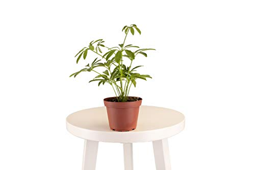 Leaf & Linen 4' Grow Pot, Live Indoor/Outdoor-Air Houseplant and Office...