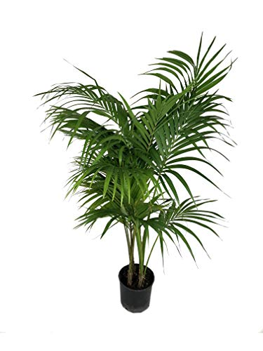 Kentia Palm - Live Plant in an 10 Inch Growers Pot - Howea Forsteriana -...