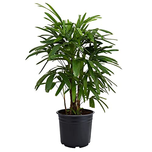 American Plant Exchange Real Live Lady Palm 6' Pot, Cold Hardy Indoor...