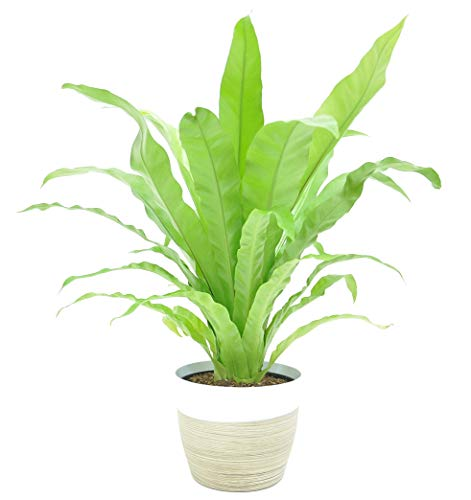 Costa Farms Bird's Nest Fern Live Indoor Plant, 1 Pack, White-Natural...