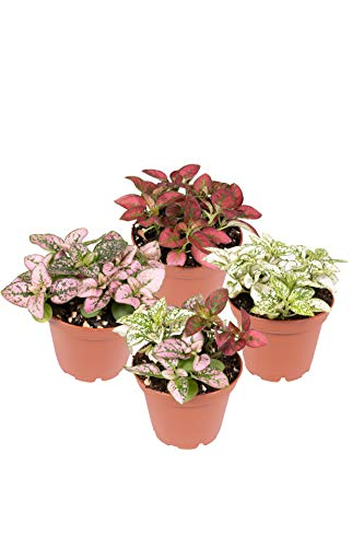 Seville Farms Polka Dot Assorted Mini Shade Plants, 2.7 inch, Red, White,...