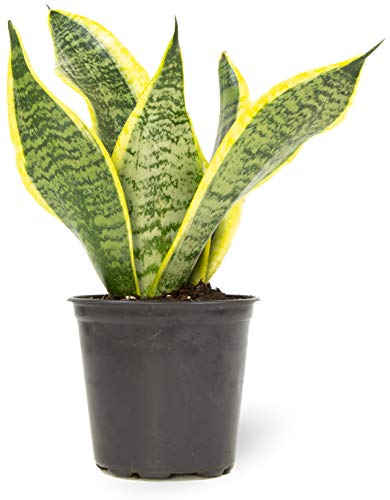 Live Snake Plant, Sansevieria trifasciata Superba, Fully Rooted Indoor...