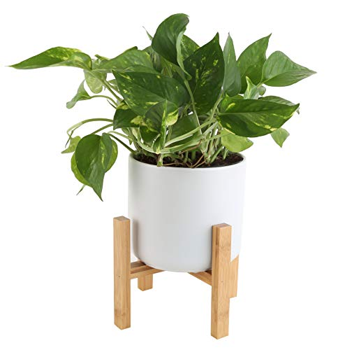 Costa Farms Easy Care Devil's Ivy Golden Pothos Live Indoor Plant, 8-Inches...
