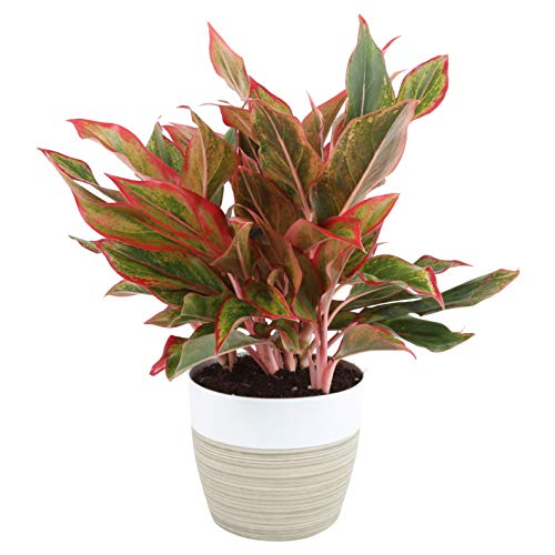 Costa Farms Aglaonema Red Chinese Evergreen Live Indoor Plant, 14-Inches...