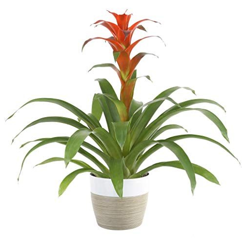 Costa Farms Live Indoor Blooming Bromeliad in White-Natural Decor Planter,...