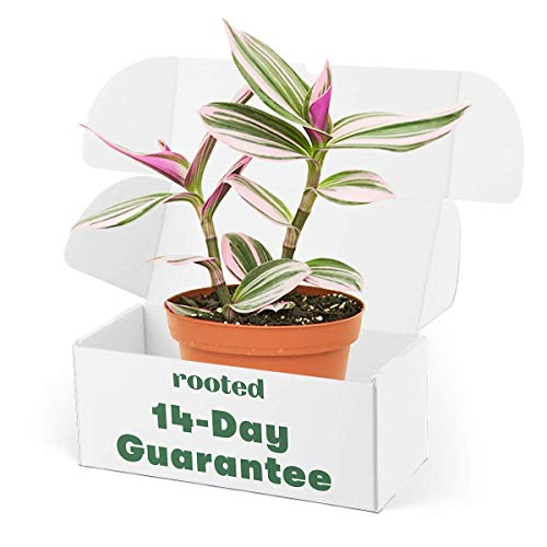 Rooted Rare Pink Wandering Jew Plant - Tradescantia Nanouk   Live, Easy to...