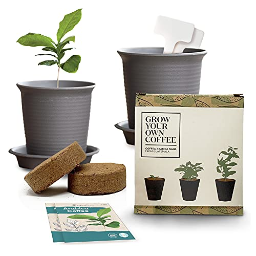 Arabica Coffee Plant Growing Starter Kit (Pack of 2) - Simple Instructions...
