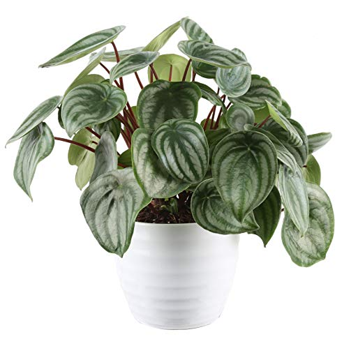 Costa Farms Peperomia Watermelon Trending Tropicals Collection Live Indoor...