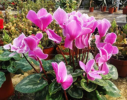 Cyclamen Seeds for Planting(200 Seeds)