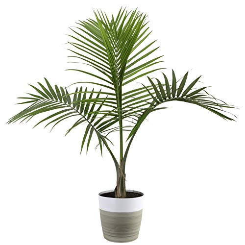 Costa Farms Majesty Palm Tree, Live Indoor Plant, 3 to 4-Feet Tall, Ships...