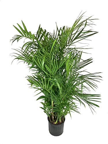 Bamboo Palm - Live Plant in an 10 Inch Growers Pot -Chamaedorea Seifrizii -...
