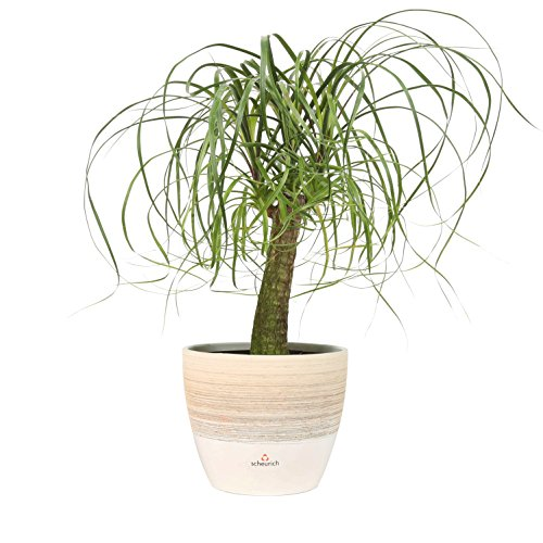 Costa Farms Ponytail Palm Bonsai, Live Indoor Plant, 15 to 20-Inches Tall,...
