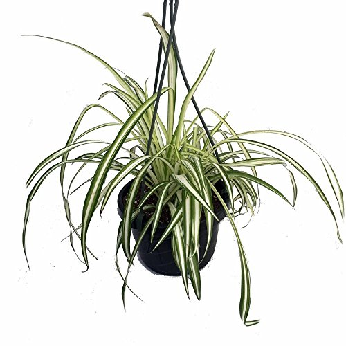 Ocean Spider Plant - Easy to Grow - Cleans The Air - New - 6' Hanging...