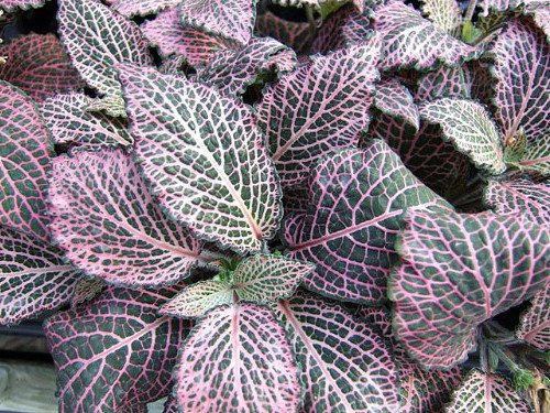 Pink Veined Nerve Plant - Fittonia - Easy House Plant - 4' Pot