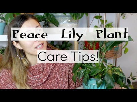 Peace Lily Plant Care Tips & Tricks | Peace Lily Houseplant Care