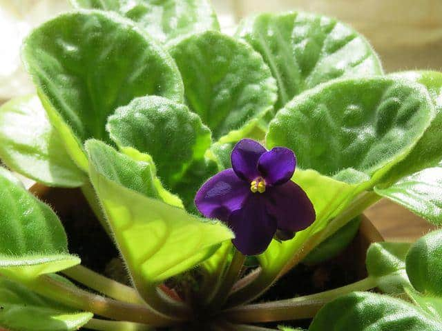 African Violet Colorful Houseplant