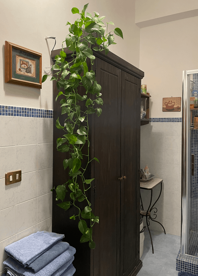 Golden Pothos Best Indoor Plant