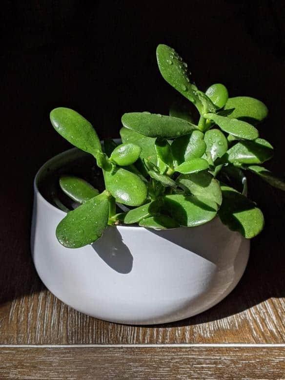 Jade Plant Best Indoor Plant