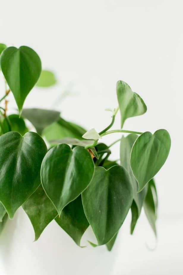 Philodendron Best Indoor Plant
