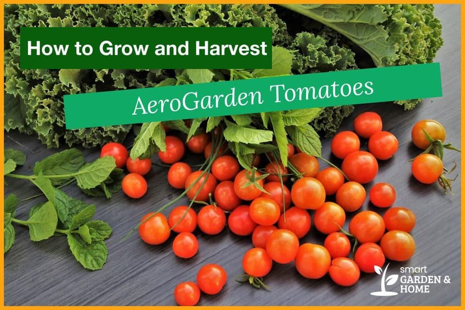 AeroGarden Tomatoes - How to Grow and Harvest
