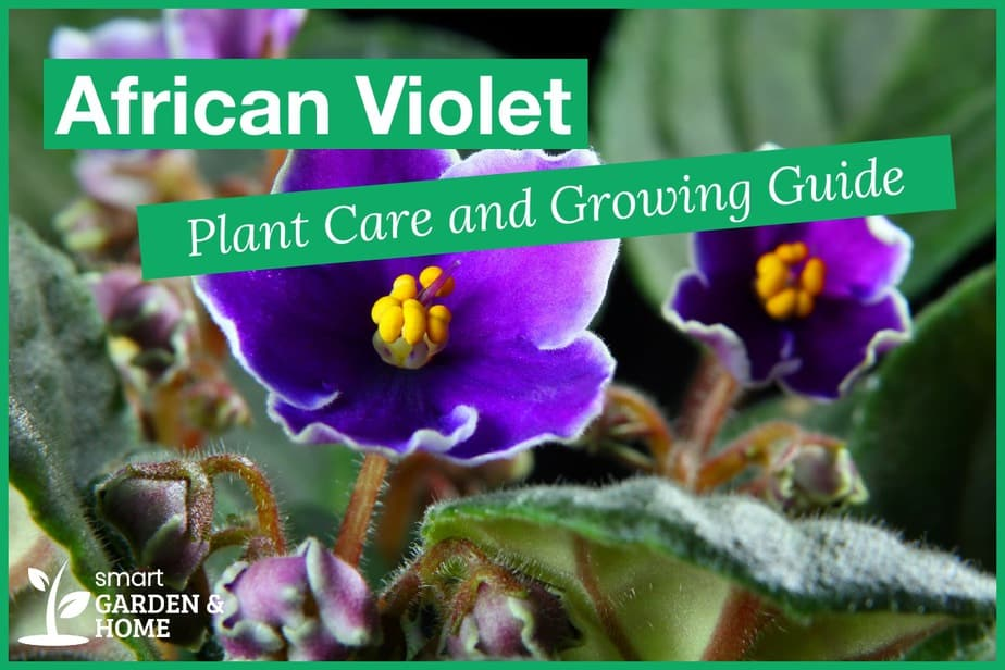 African Violet Plant Care and Growing Guide