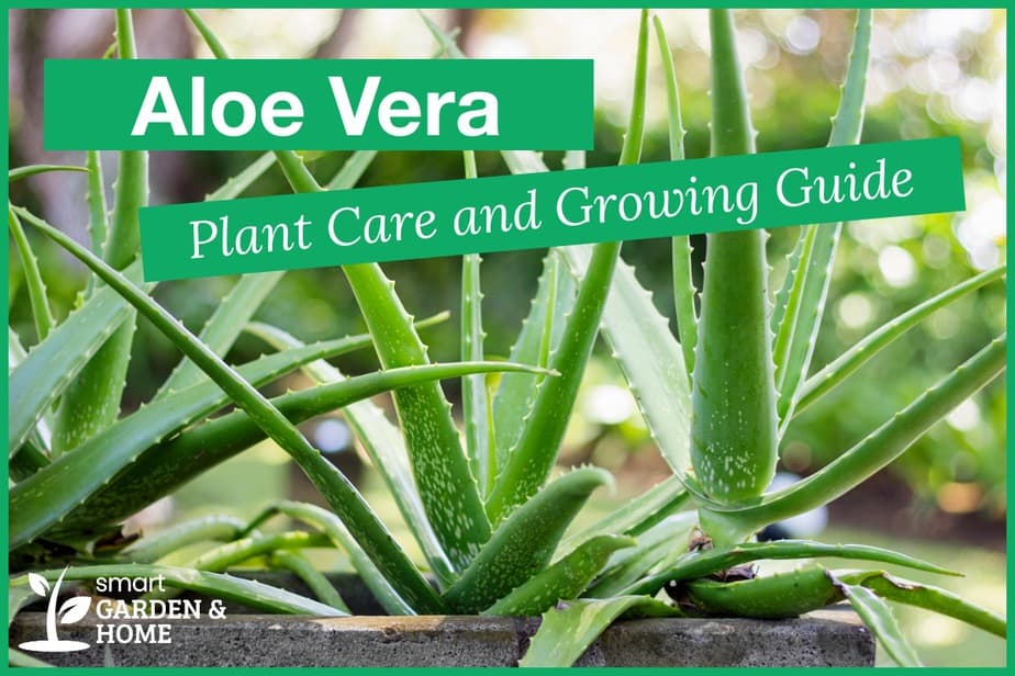 Aloe Vera Plant Care and Growing Guide