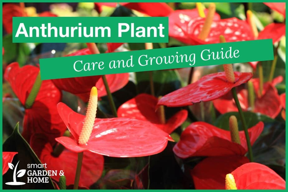 Anthurium Plant Care and Grow Guide