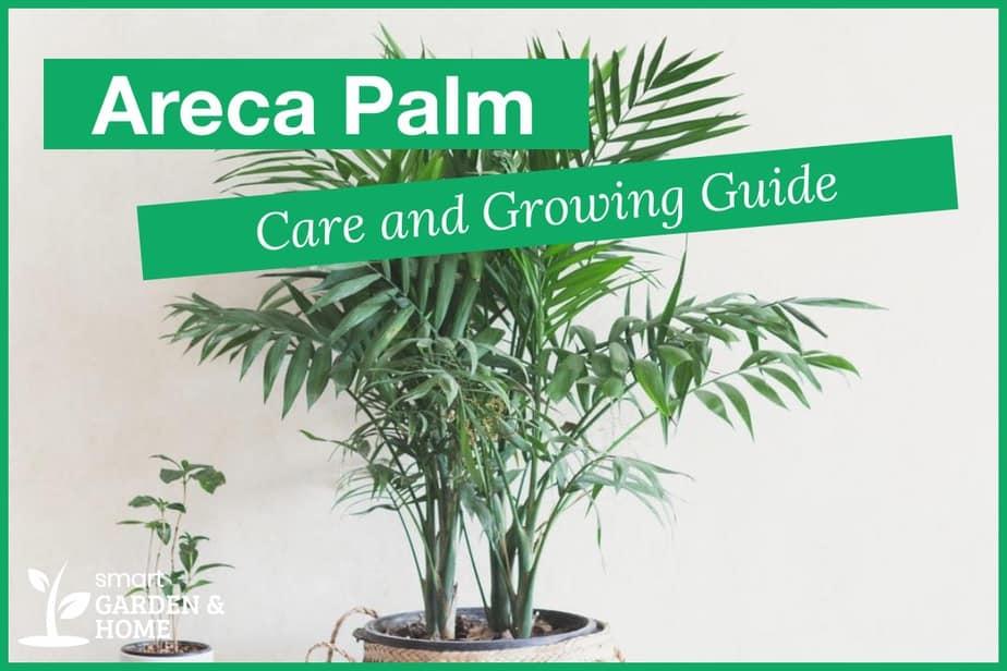 Areca Palm Plant Care and Grow Guide