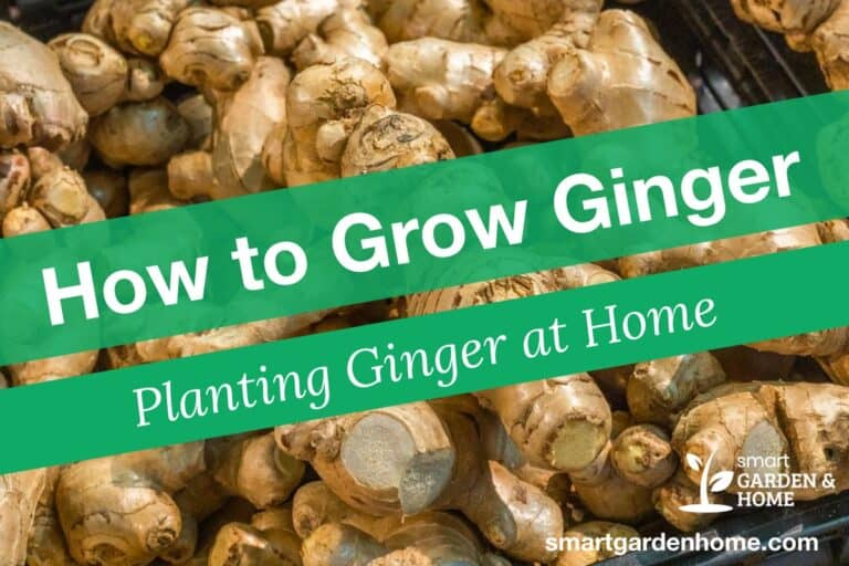 How to Grow Ginger - Planting Ginger at Home
