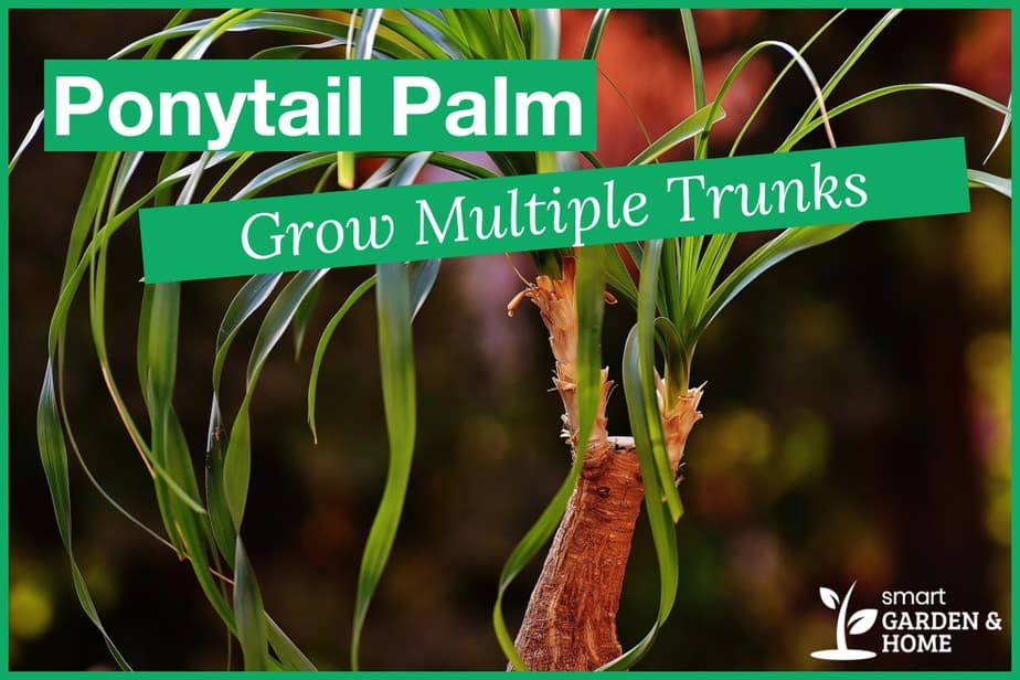How to Grow Multiple Trunks on a Ponytail Palm