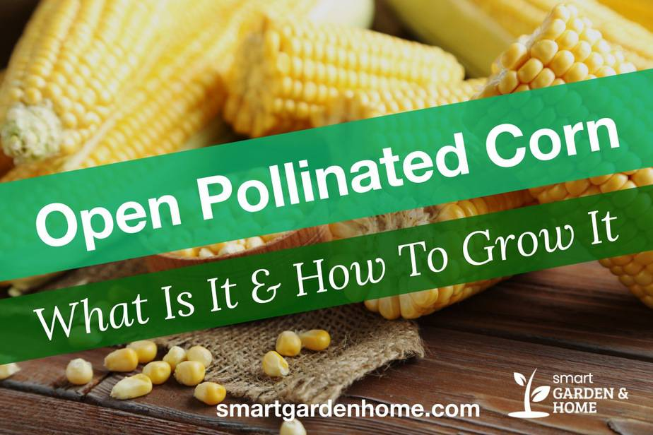 Open Pollinated Corn: What And How To Grow Them