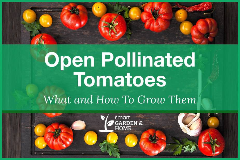Open Pollinated Tomatoes: What And How To Grow Them