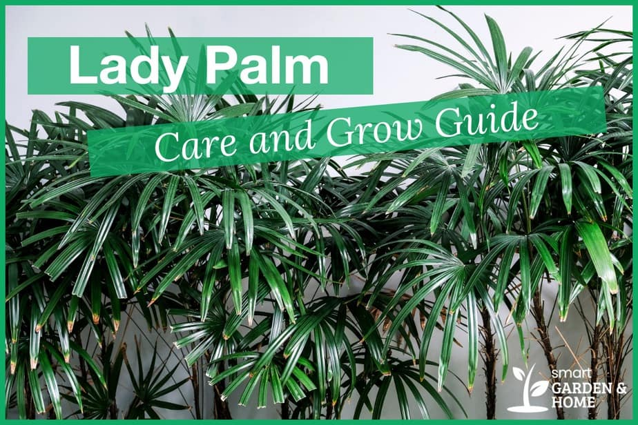 Lady Palm Care and Grow Guide