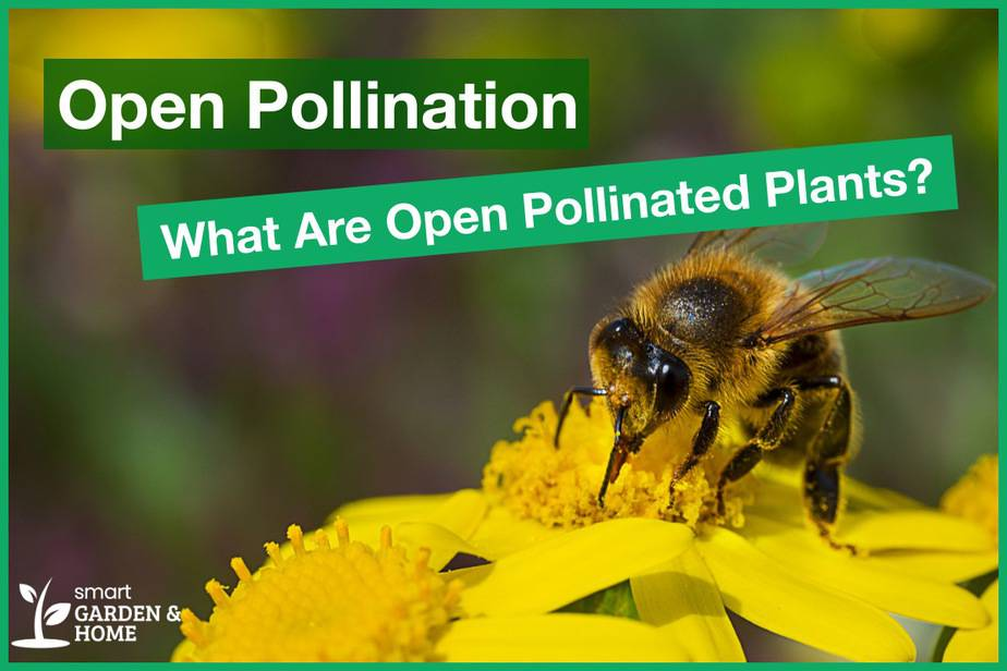 Open Pollination: What are Open Pollinated Plants and Seeds?