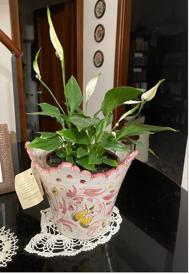 Peace Lily Spathiphyllum Plant on Table