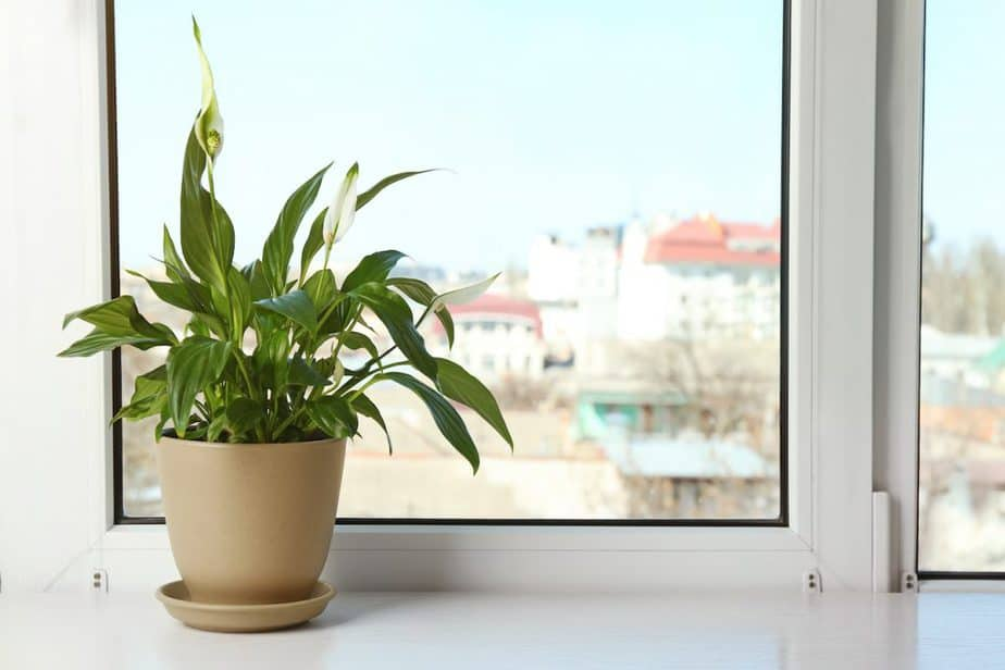 Peace Lily Spathiphyllum Plant on Window Sill
