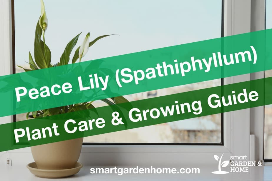 Peace Lily Spathiphyllum Plant Care and Growing Guide