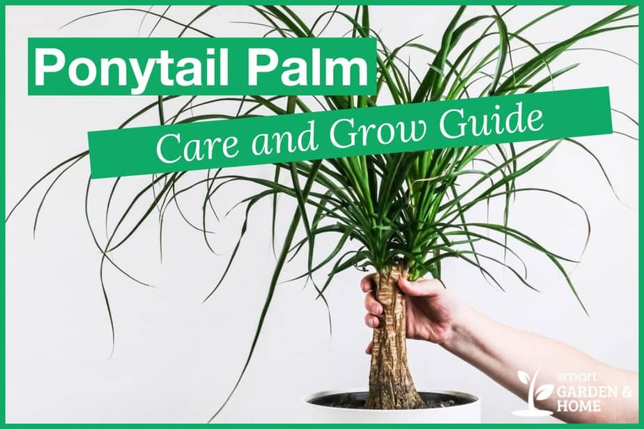 Ponytail Palm Care and Grow Guide