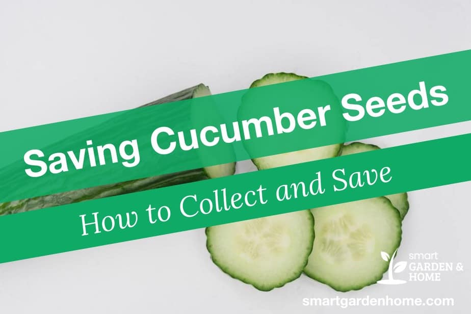 Saving Cucumber Seeds - How to Collect and Save