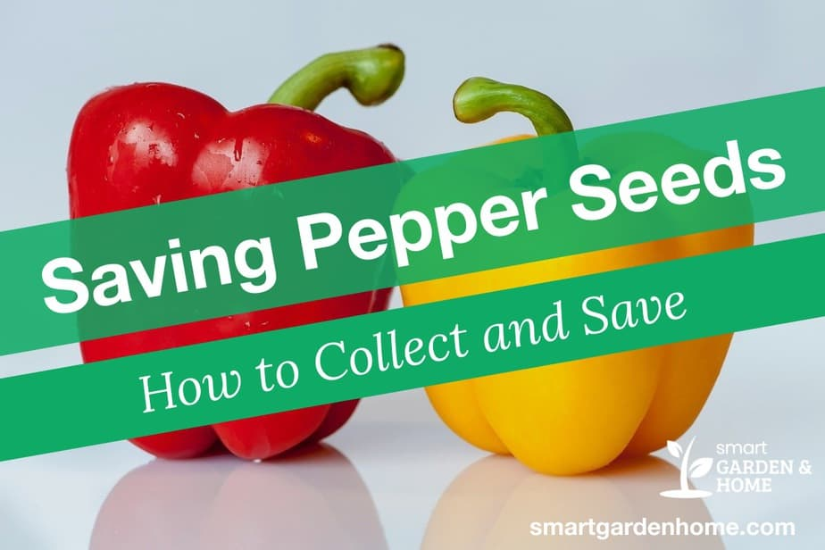 Saving Pepper Seeds - How to Collect and Save Pepper Seeds