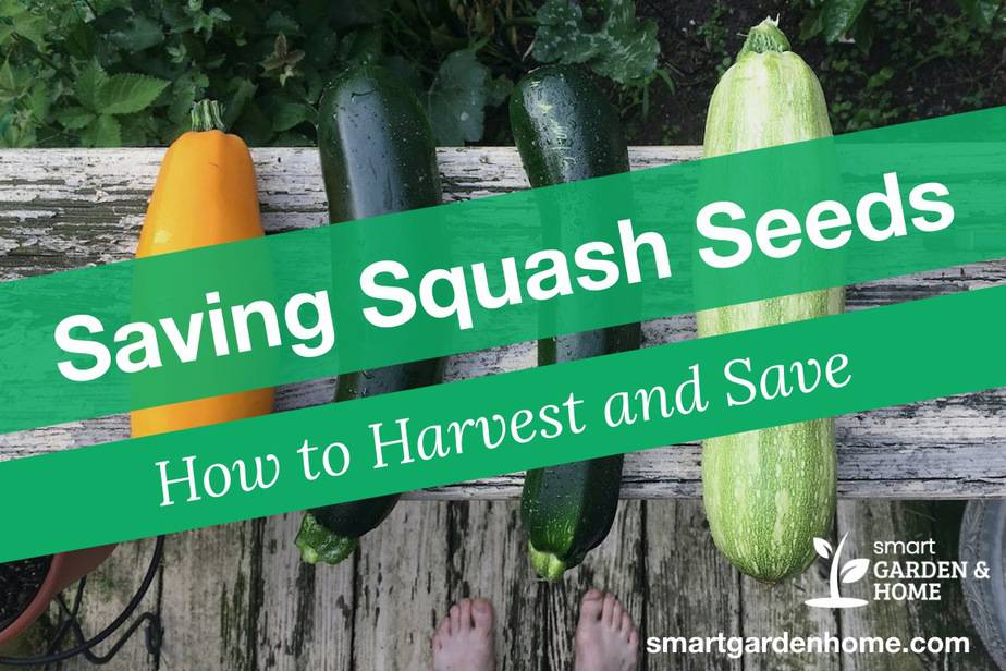 Saving Squash Seeds - How to Harvest and Save Squash Seeds
