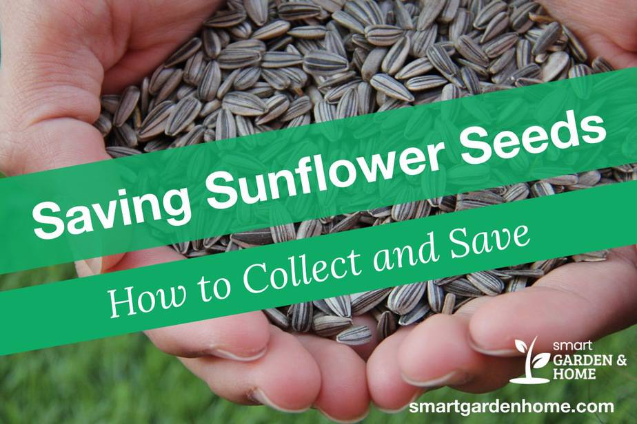 Saving Sunflower Seeds - How to Harvest and Save Sunflower Seeds