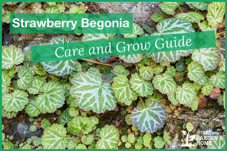 Strawberry Begonia Plant Care and Grow Guide