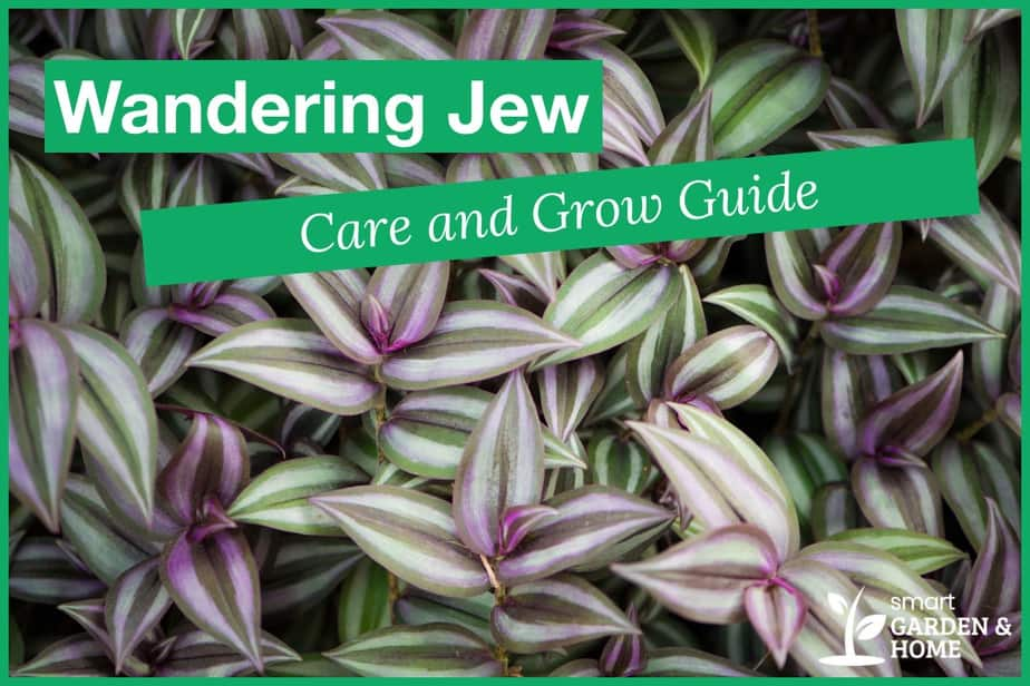 Wandering Jew Plant (Spiderwort) Care and Grow Guide